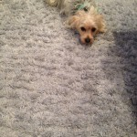 Novato-Dog-carpet-clean